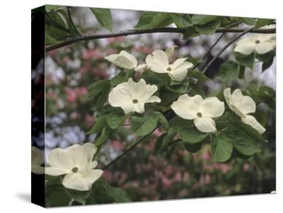Flowering Dogwood (Cornus Florida X C, Nuttallii)