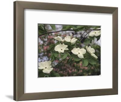 Flowering Dogwood (Cornus Florida X C, Nuttallii)