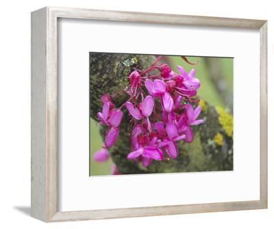 Judas Tree (Cercis Siliquastrum) Cauliflorous Flowers