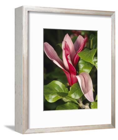 Lily Magnolia or Mulan Magnolia Flower (Magnolia Liliiflora), Nigra Variety