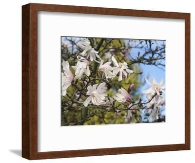 Star Magnolia (Magnolia Stellata), Rosea Variety