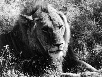 Content Lion--Photographic Print