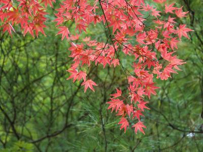 Contrasting Autumn Leaves, Arishiyama District-Gerard Walker-Photographic Print