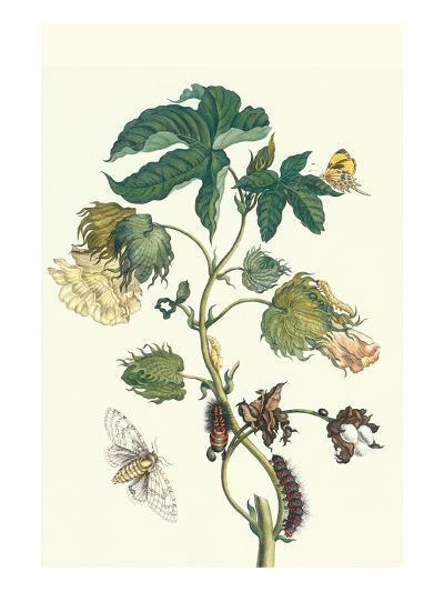 Contton Plant, Moths and Butterflies-Maria Sibylla Merian-Premium Giclee Print