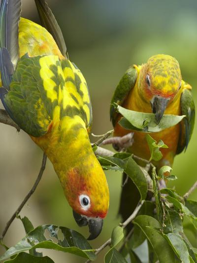 Conure Parrots, Costa Rica-Tim Fitzharris-Photographic Print