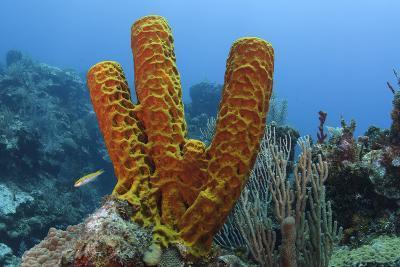 Convoluted Barrel Sponge, Hol Chan Marine Reserve, Belize-Pete Oxford-Photographic Print