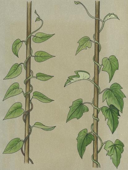 Convolvulus or Field Bindweed (Convolvulus Arvensis)--Giclee Print