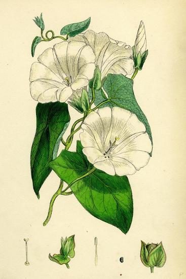 Convolvulus Sepium Great Bindweed--Giclee Print
