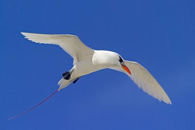 Cook Islands, South Pacific. Red-Tailed Tropicbird-Janet Muir-Photographic Print