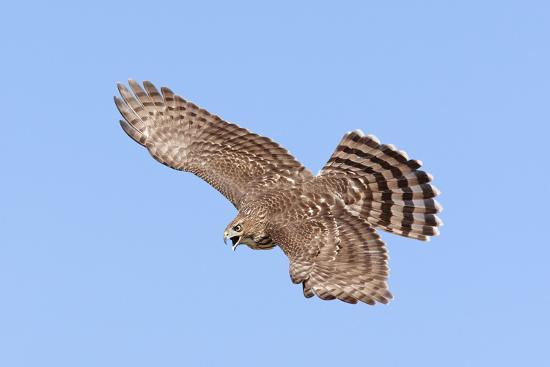 Cooper's Hawk Immature in Flight--Photographic Print