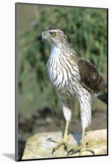 Cooper's Hawk Immature, Starr County, Texas-Richard and Susan Day-Mounted Photographic Print