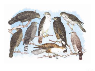 Coopers, Grubers, Harlan and Harris Buzzards, and Chicken Hawk-Theodore Jasper-Art Print
