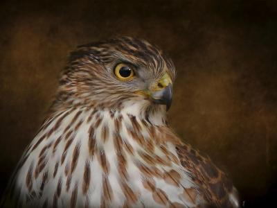Coopers Hawk Portrait 2-Jai Johnson-Giclee Print