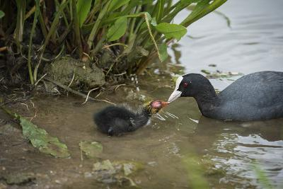 Coot (Fulica), Young Chick Feeding, Gloucestershire, England, United Kingdom-Janette Hill-Photographic Print