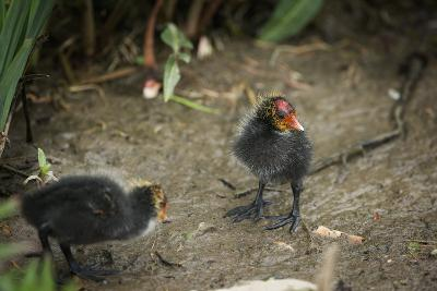 Coot (Fulica) Young Chicks, Gloucestershire, England, United Kingdom-Janette Hill-Photographic Print