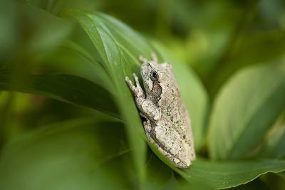 Cope's Gray Tree Frog Hiding in a Peony Bush Near Cross Lake, Minnesota-Joel Sartore-Photographic Print