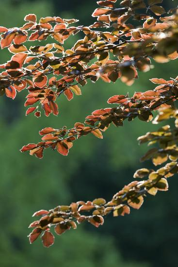 Copper Beech, Branches, Leaves, Back Light-Rainer Mirau-Photographic Print