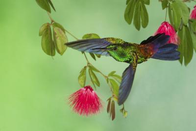 Copper-Rumped Hummingbird-Ken Archer-Photographic Print