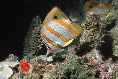 Copperbanded Butterflyfish-Peter Scoones-Photographic Print