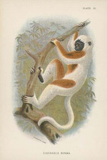Coquerel's Sifaka--Giclee Print