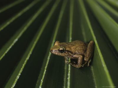 Coqui Frogs Invaded the Hawaiian Islands From Imported Plants-Melissa Farlow-Photographic Print