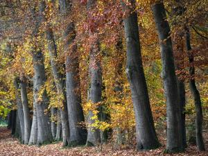 Autumn Beeches I by Cora Niele