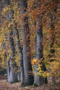 Autumn Beeches II by Cora Niele