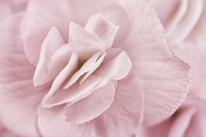 Begonia Flower by Cora Niele