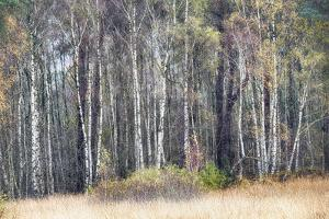 Birches by Cora Niele