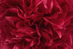 Carmine Red Peony Flower by Cora Niele