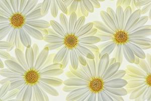 Daisy Flowers by Cora Niele