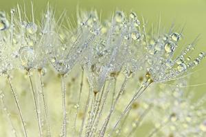 Dandelion Dew I by Cora Niele