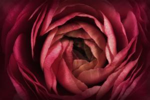 Glowing Ruby Red Ranunculus by Cora Niele