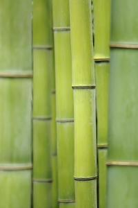 Japanese Timber Bamboo (Phyllostachys Bambusoides), May by Cora Niele