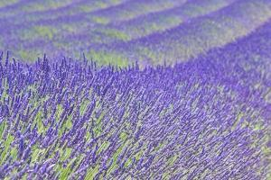 Lavender by Cora Niele
