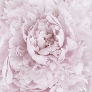 Pink Peony Flower by Cora Niele