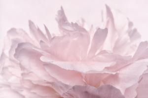 Pink Peony Petals III by Cora Niele