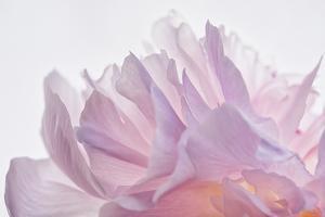 Pink Peony Petals VI by Cora Niele