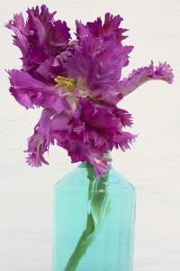 Purple Parrot Tulip by Cora Niele