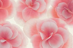 Rose Begonia Flowers by Cora Niele