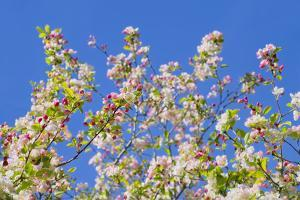 Spring Apple Blossom by Cora Niele