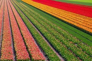 Tulip Field In Orang, Red And Green by Cora Niele