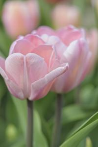 Tulip Flower Baronesse by Cora Niele