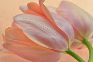 Two Orange Tulips by Cora Niele