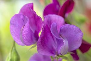 Two Sweet Pea Flowers by Cora Niele