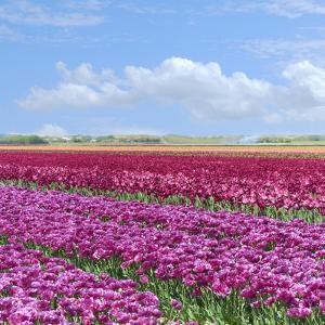 Violet Tulip Fields by Cora Niele