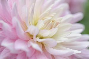 White and Pink Dahlia by Cora Niele