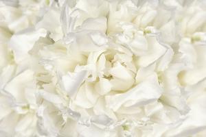 White Peony Flower by Cora Niele