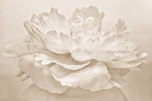 White Peony by Cora Niele