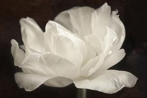 White Tulip III by Cora Niele
